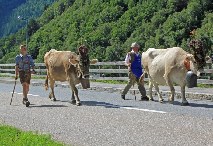 Val Venosta Valley, South Tyrol, Italy: Bringing cattle down from the Alms (high pastures). Photo taken by newsletter reader Bill Rawsky who recently spent some time in Europe.
