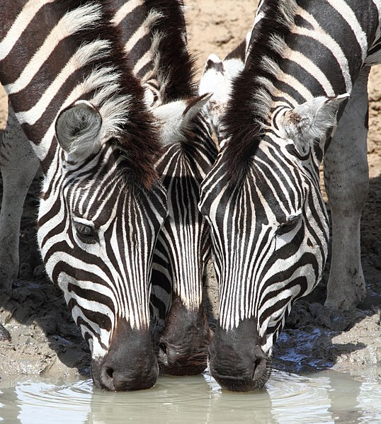""""""" Plain zebras  drinking at a waterhole in South Africa"""" by  Alan D Manson , under  CC BY-SA 4.0  (via Wikimedia Commons). The Swahili word for zebra is  punda milia . These distinctive members of the horse family can weigh up to 770 lbs. and their stripes are as unique to them as your fingerprints are to you."""