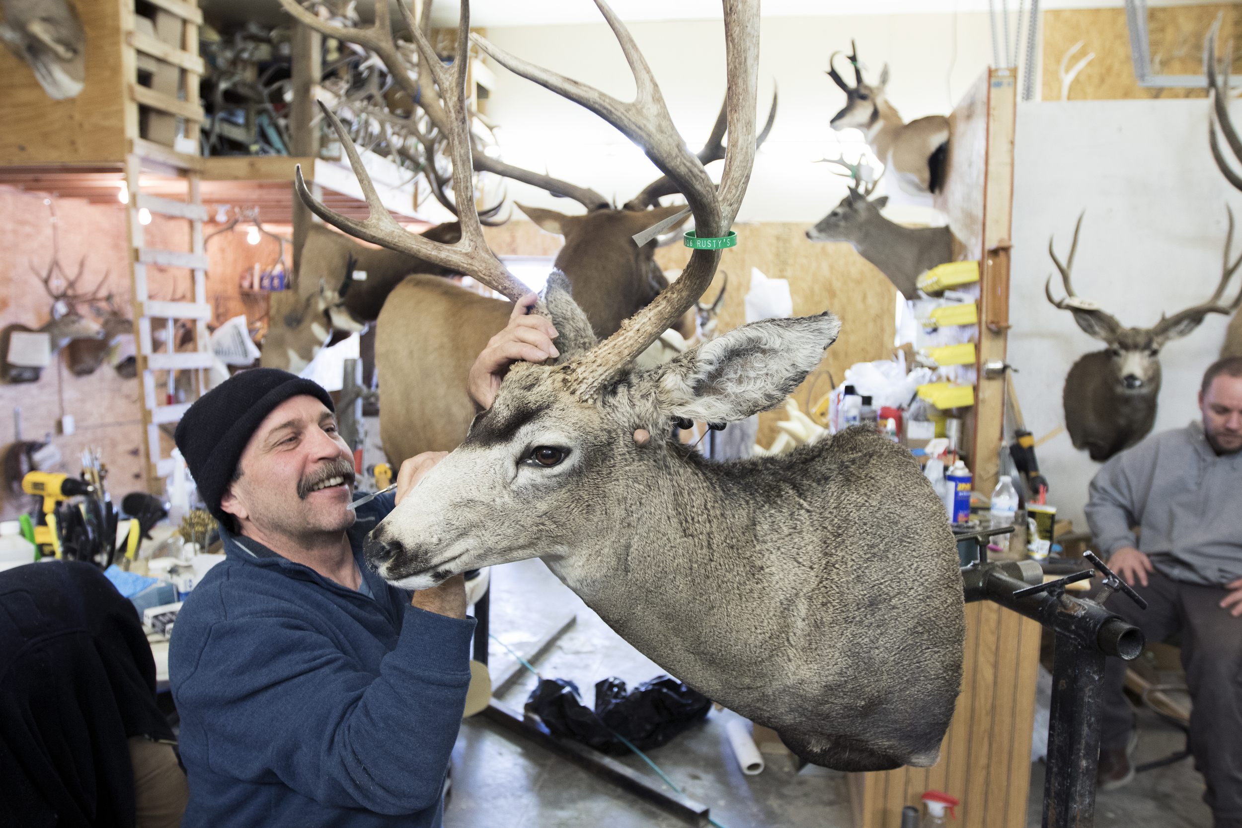 Brad Smith puts the finishing touches on a mule deer mount at Rusty's Taxidermy on April 1. The Western Regional Taxidermy Championship will be in Gillette Wednesday through Sunday at the Cam-plex Wyoming Center.
