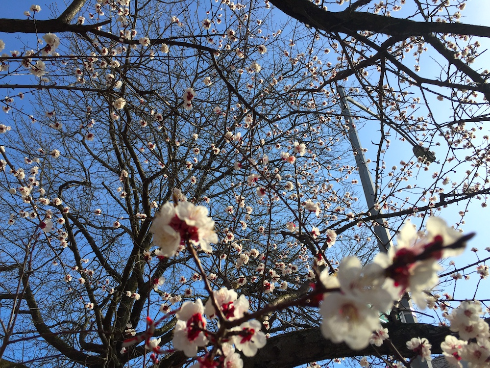 Blooming trees in Astoria, NYC | Photo credit; Rose Spaziani