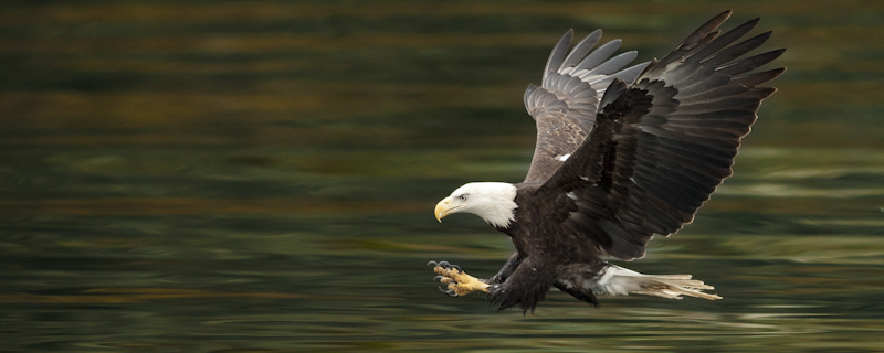 Eagle reached out to grab a fish- Alaska