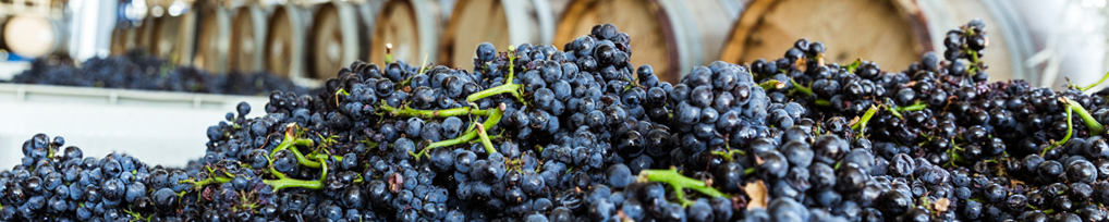 Malbec Grapes in bin at harvest