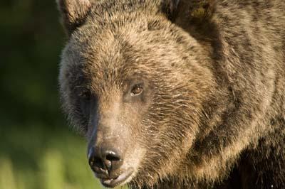 grizz610a.jpg