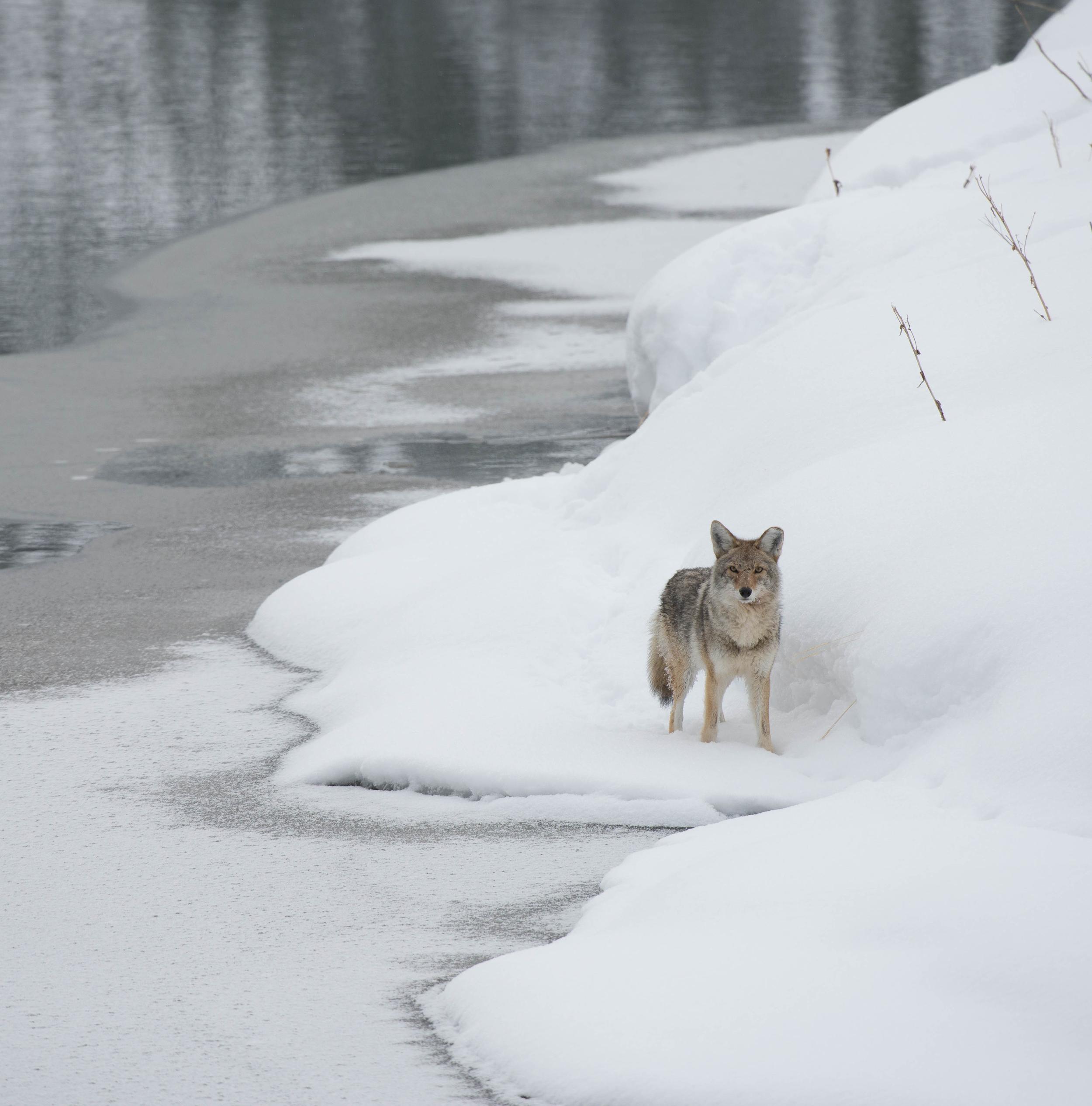 coyote instagram.jpg