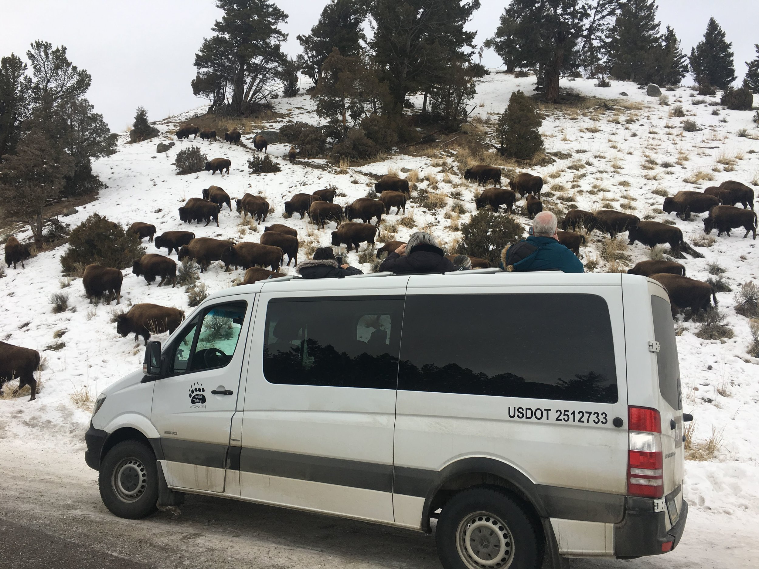 sprinters and bison herd.jpg