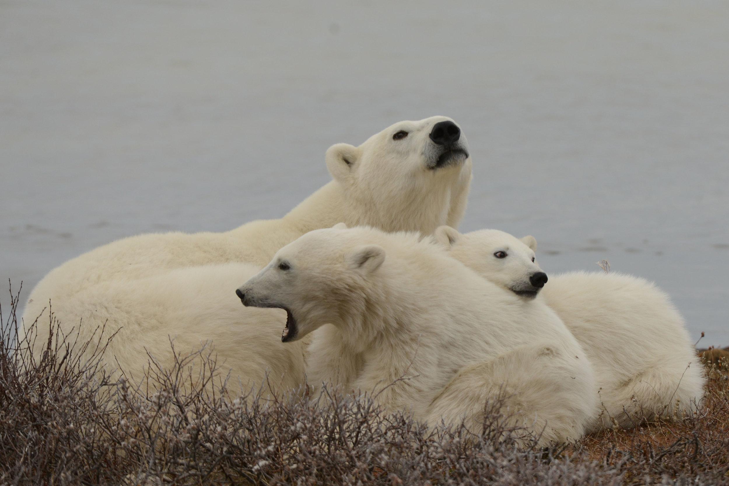 Polarbearpile.jpg