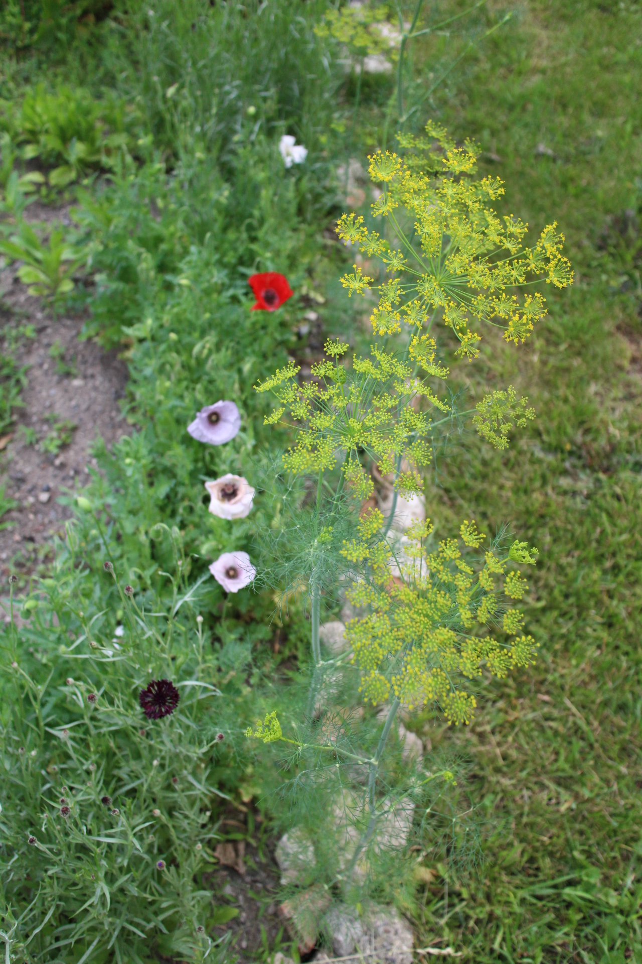 First of the flowers! Poppies, bachelor's buttons, and dill