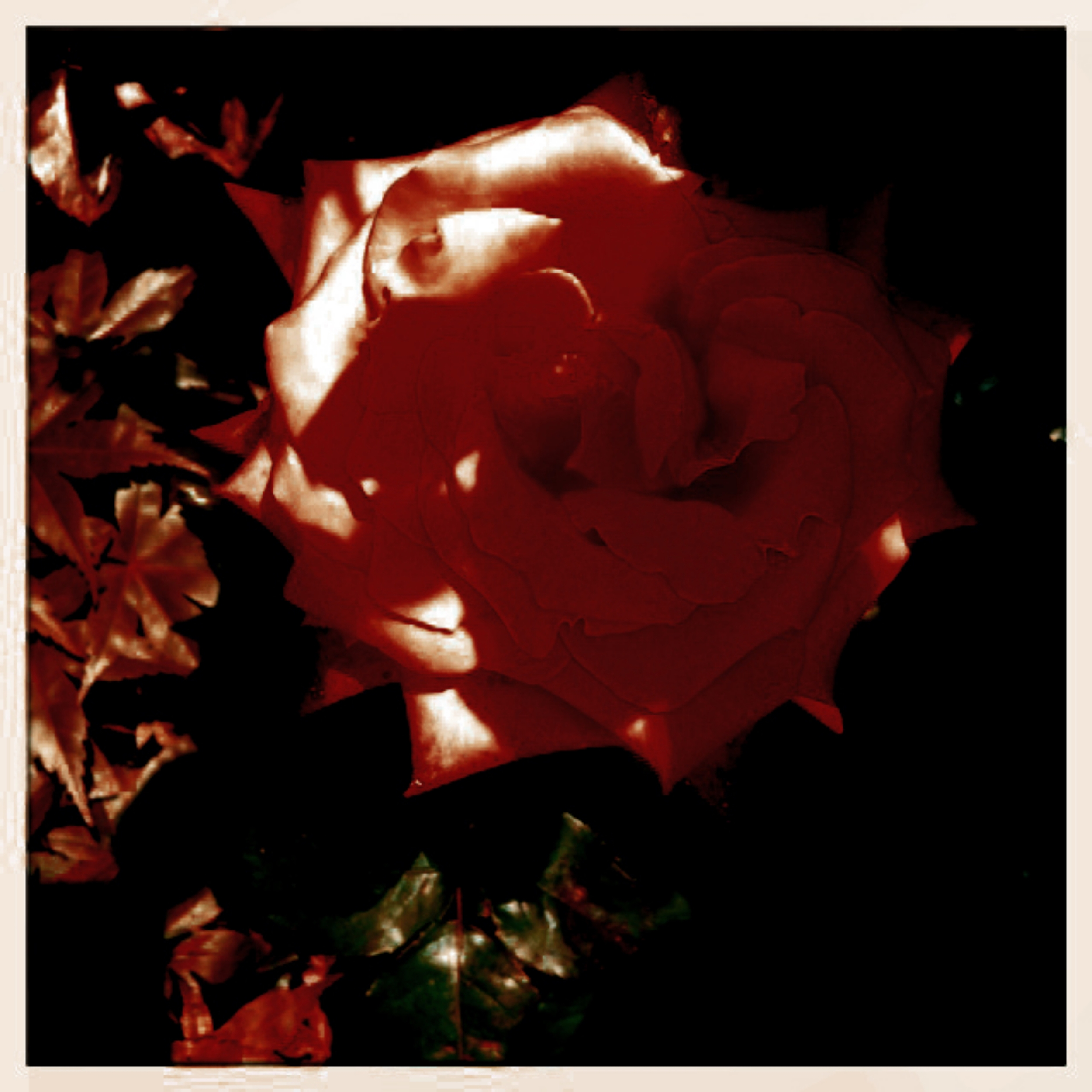 I offer you this heart rose, beautifully captured by my one-and-only  VK-Red Duvivier  xxx