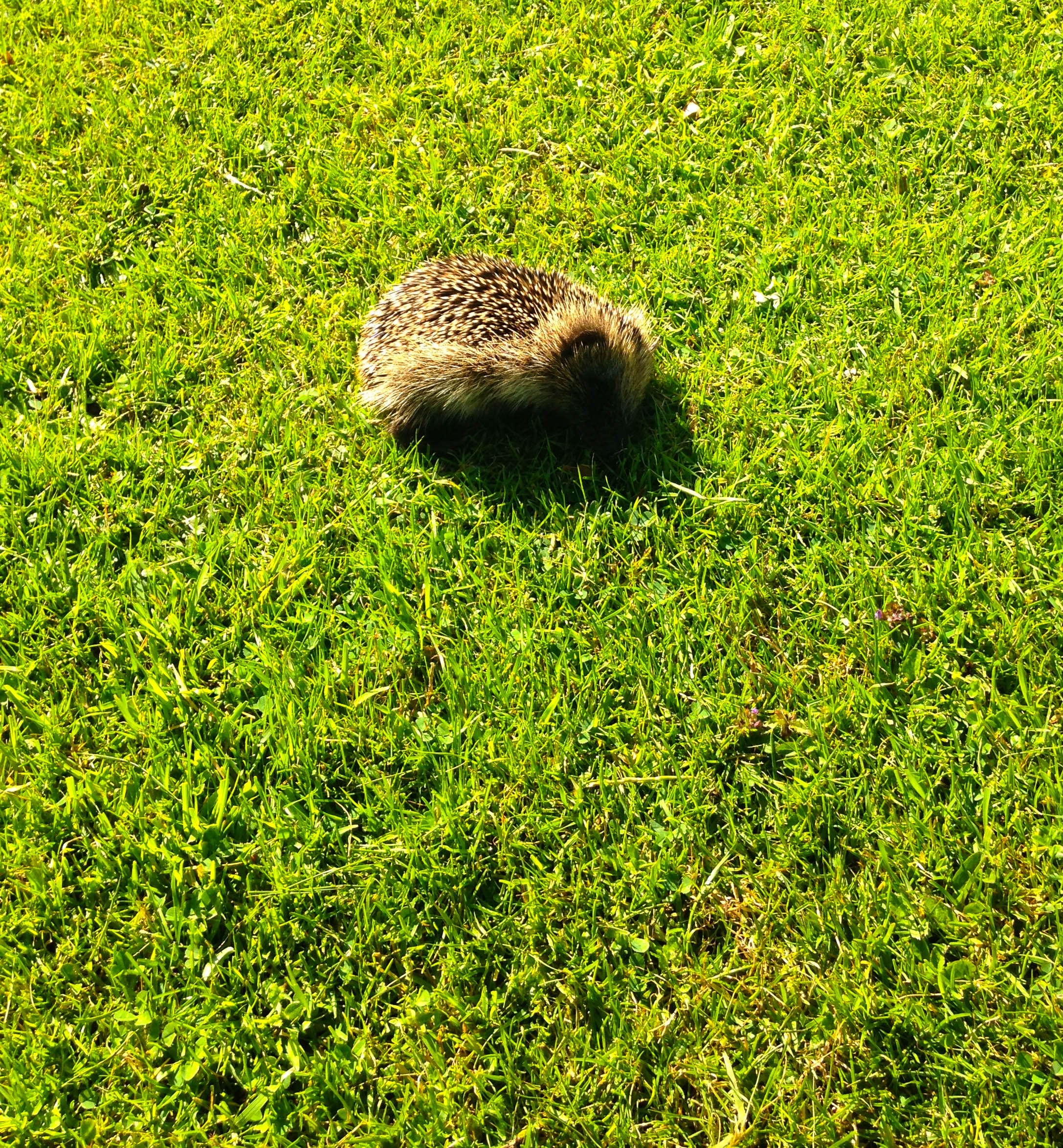 The Littlest Hedgehog
