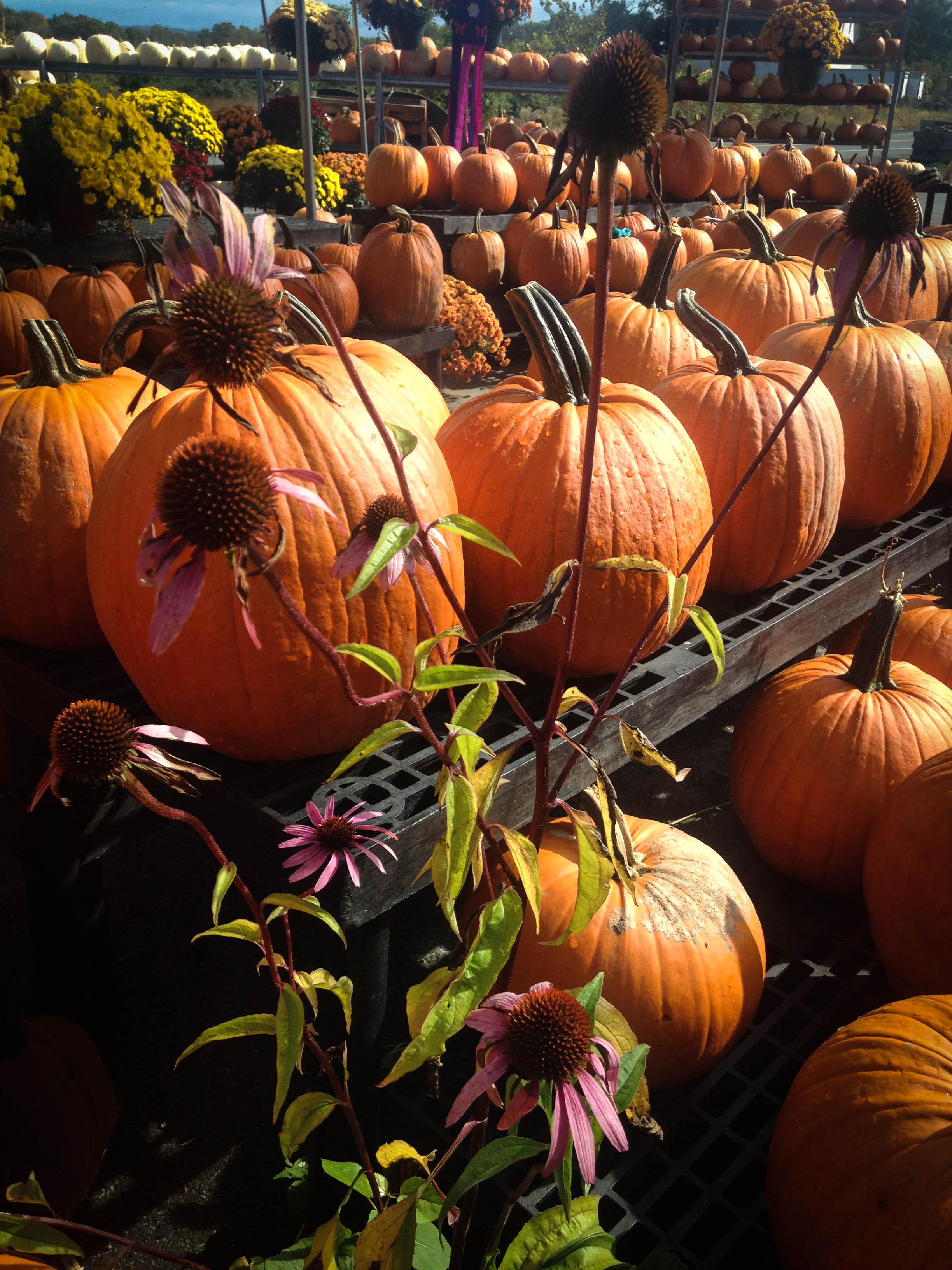 Pumpkins Love Echinacea