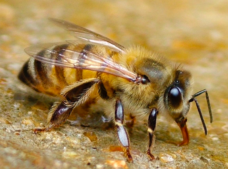 The endangered, irreplaceable, precious Bee.
