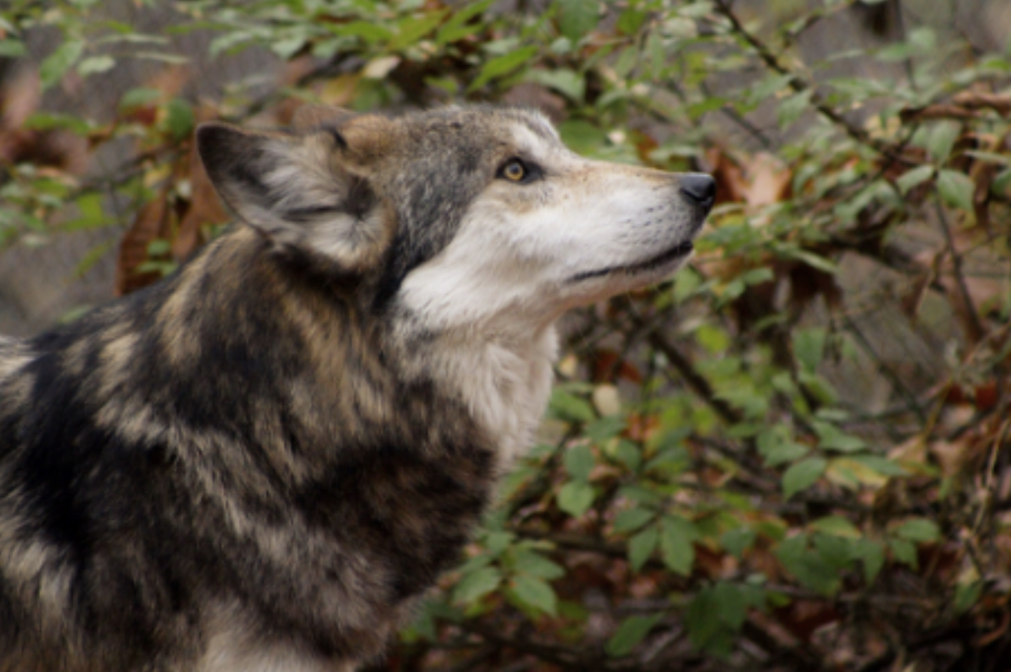 Diego, one of the few remaining Mexican grey wolves, may have pups one day soon!