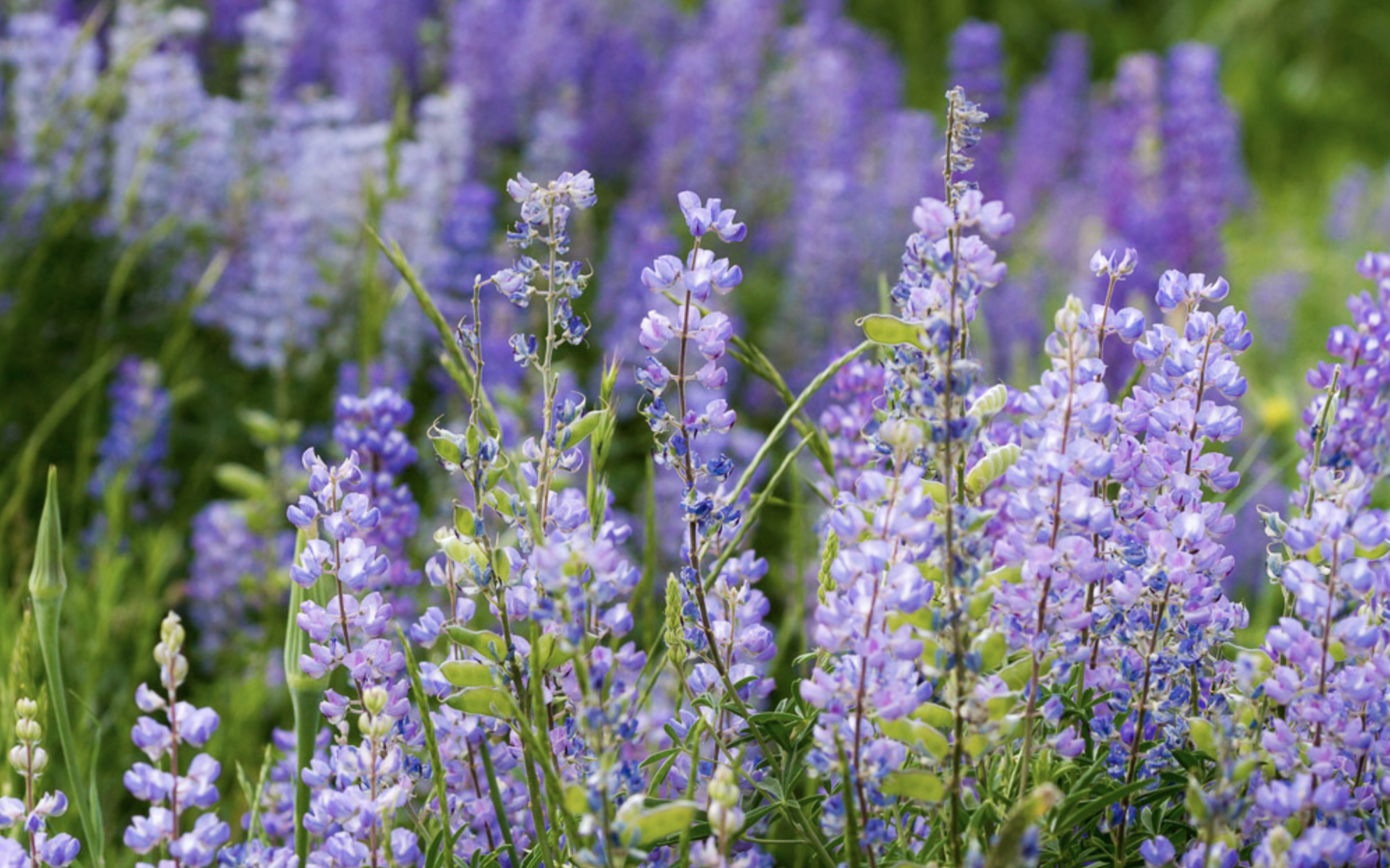 purple lupins.png