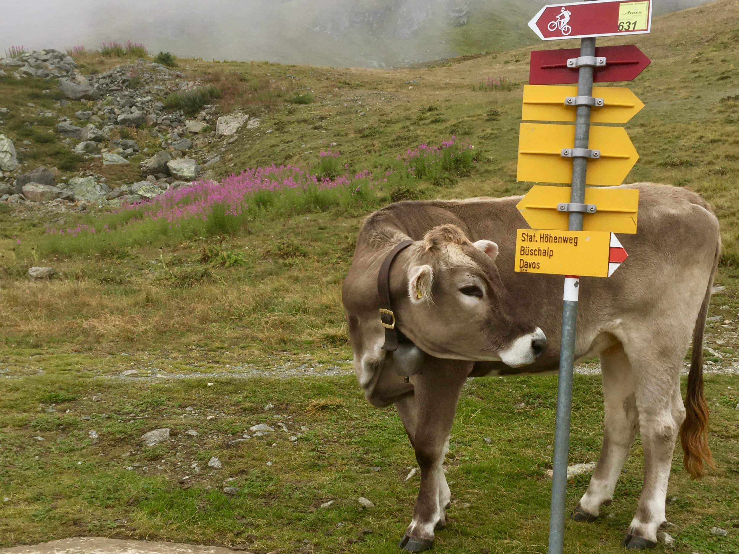 A cow on a mountain near Davos, Switzerland. With bell, without horns. (C) Remko Tanis