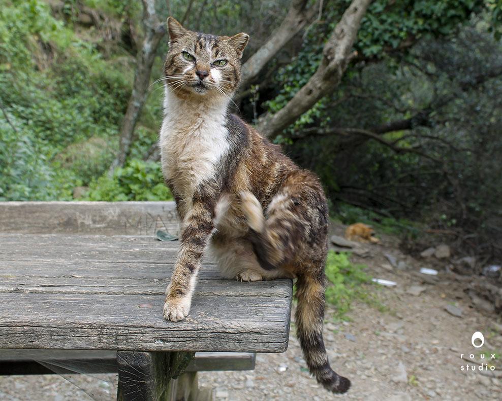 feral cat  cinque terre, italy | april 2014