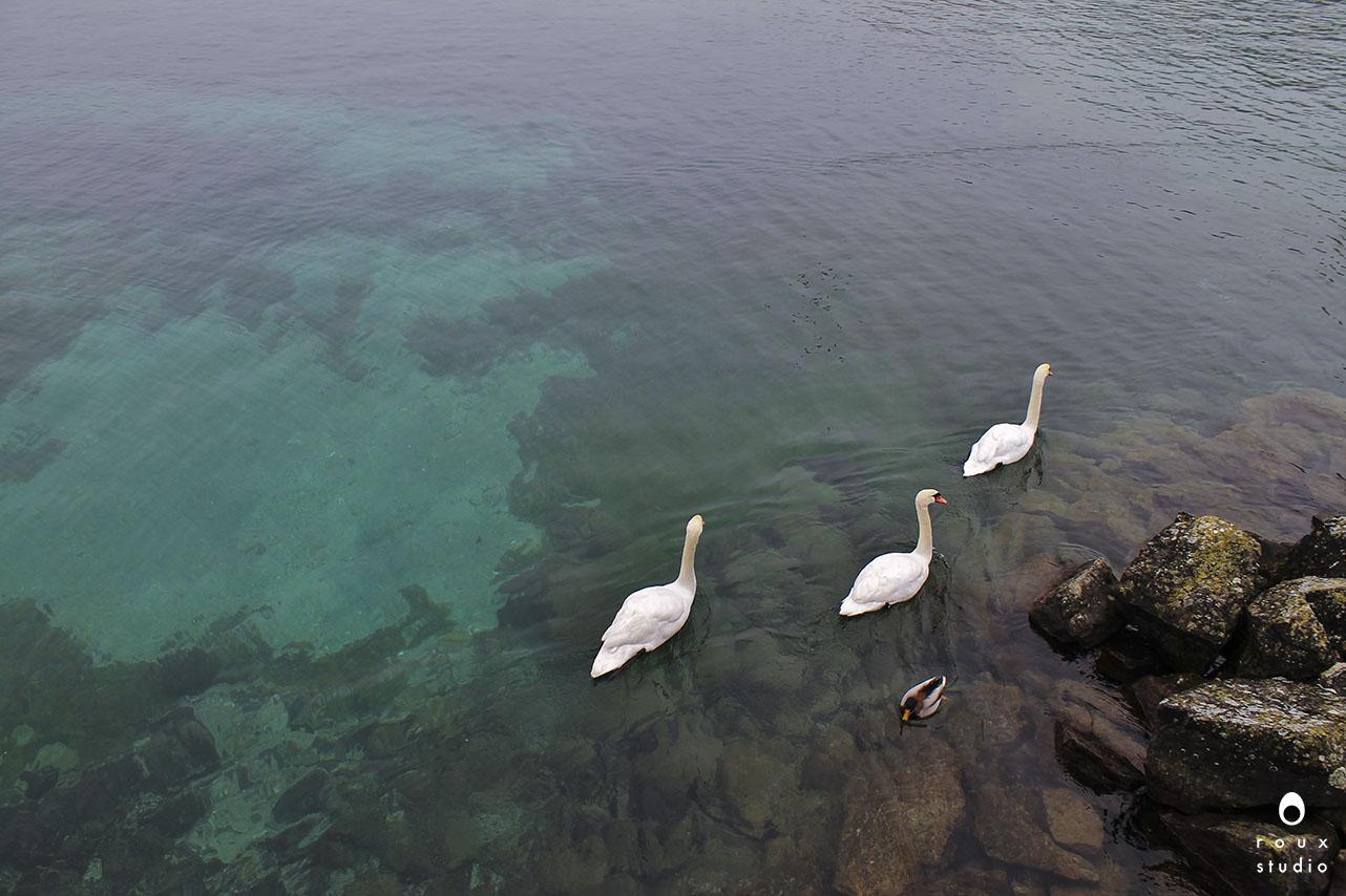 swans  geneva, switzerland | december 2013