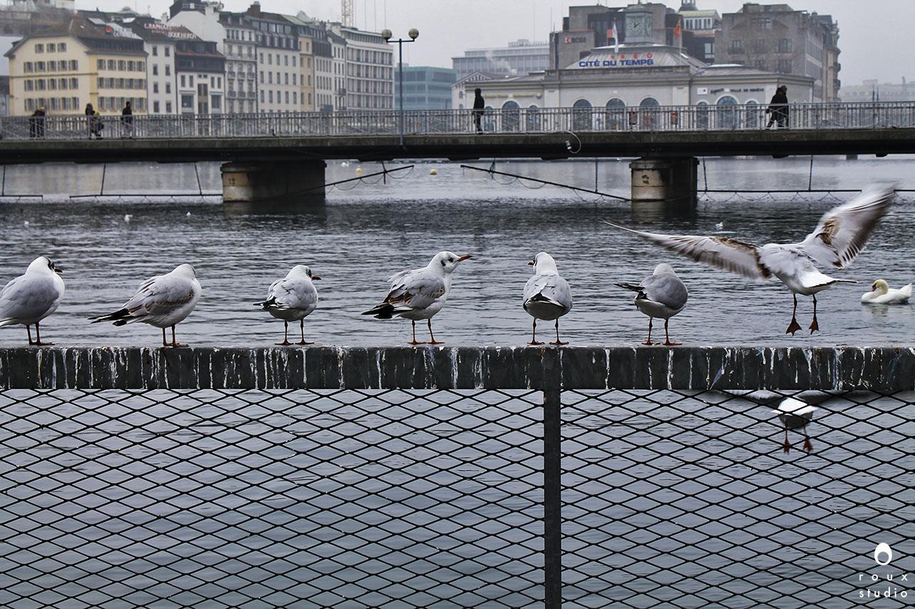 sea birds  geneva, switzerland | december 2013