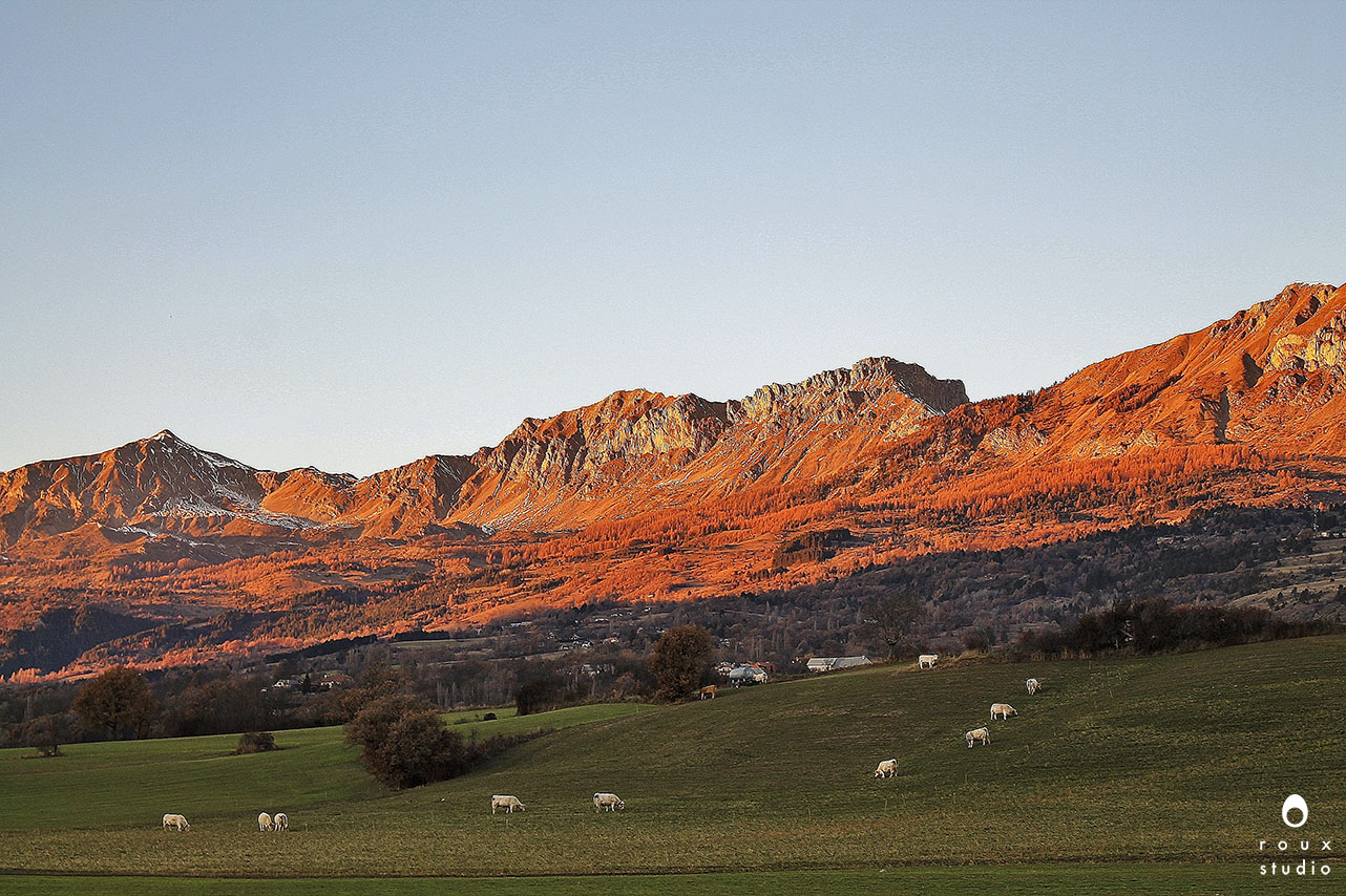 grazing cows  haute-alps, france | december 2013