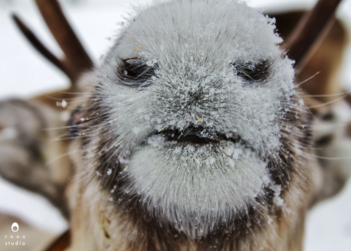 reindeer nose  nutti sámi siida, sweden | march 2013