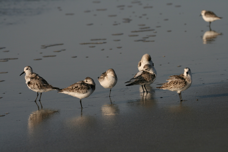 Preening Sandpipers