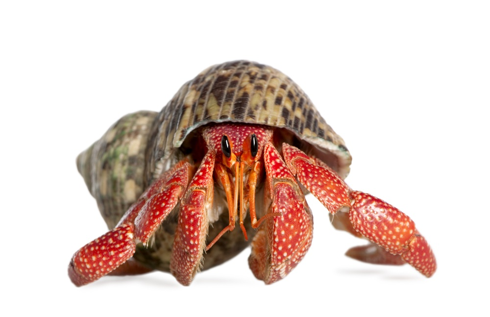 Want to gift a cat, or puppy? Hold up brah! Hermit Crabs make waaaay gooder gifts. They don't shed hair balls, puke on your rug, chew up the couch, or eat stinky stuff. Just make sure you go recuse one from a pet shop rather than poach one from a tide pool.