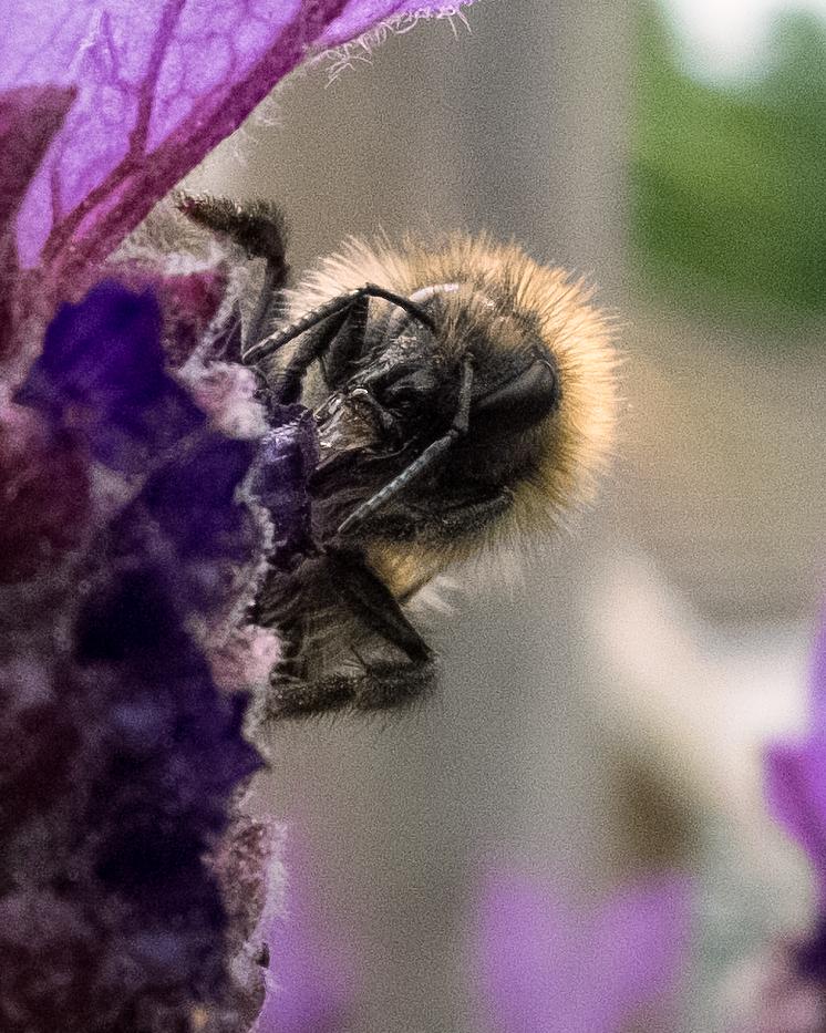 bee-lavender2.jpg