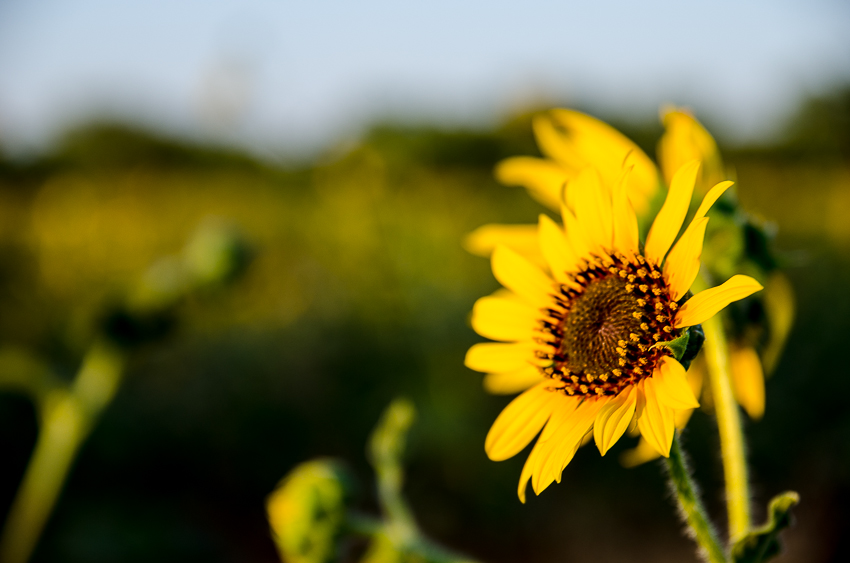 Sunflowers At the Ranch (2 of 16).jpg