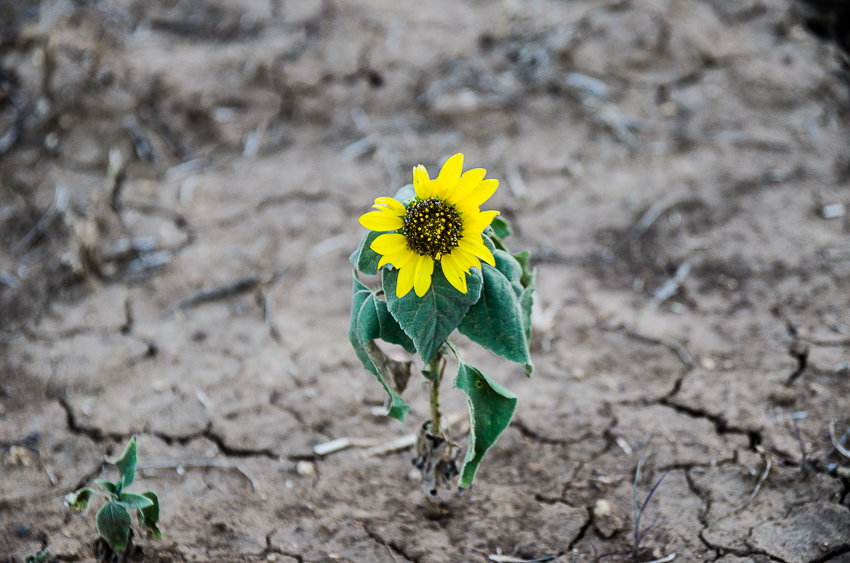 Sunflowers At the Ranch (9 of 16).jpg