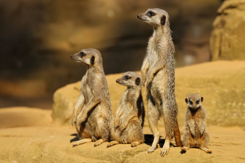 """ Meerkats "" by  Ronnie Macdonald  is licensed under  CC BY 2.0"