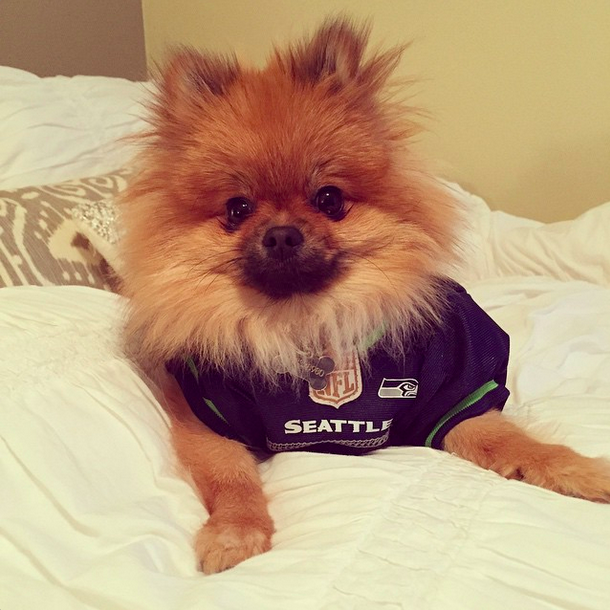 """#bluemonday in celebration of yesterday's big W! #pom #seahawks #SuperBowl #repete #chloepomstagram #1fan #12 #12dog"""