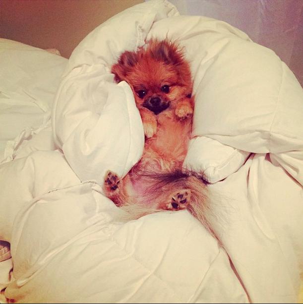 """Happy #friday #tgif #pom #pomeranian #partyallnight #sleepallday #nocturnal #chloepomstagram #bunny"""