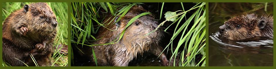 baby beaver montage