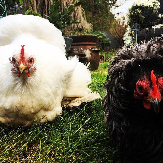 hen friends #ladybusiness #findmyeasteregg #joanandsqueak