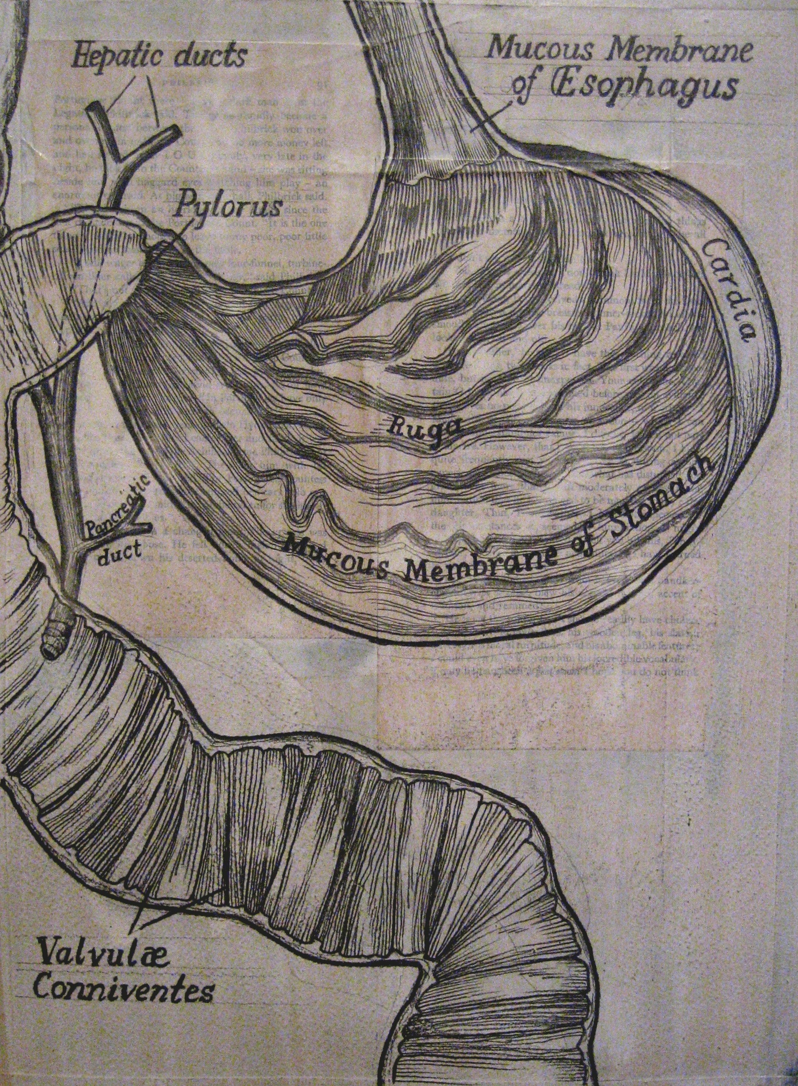 StomachMembraneDissection.jpg