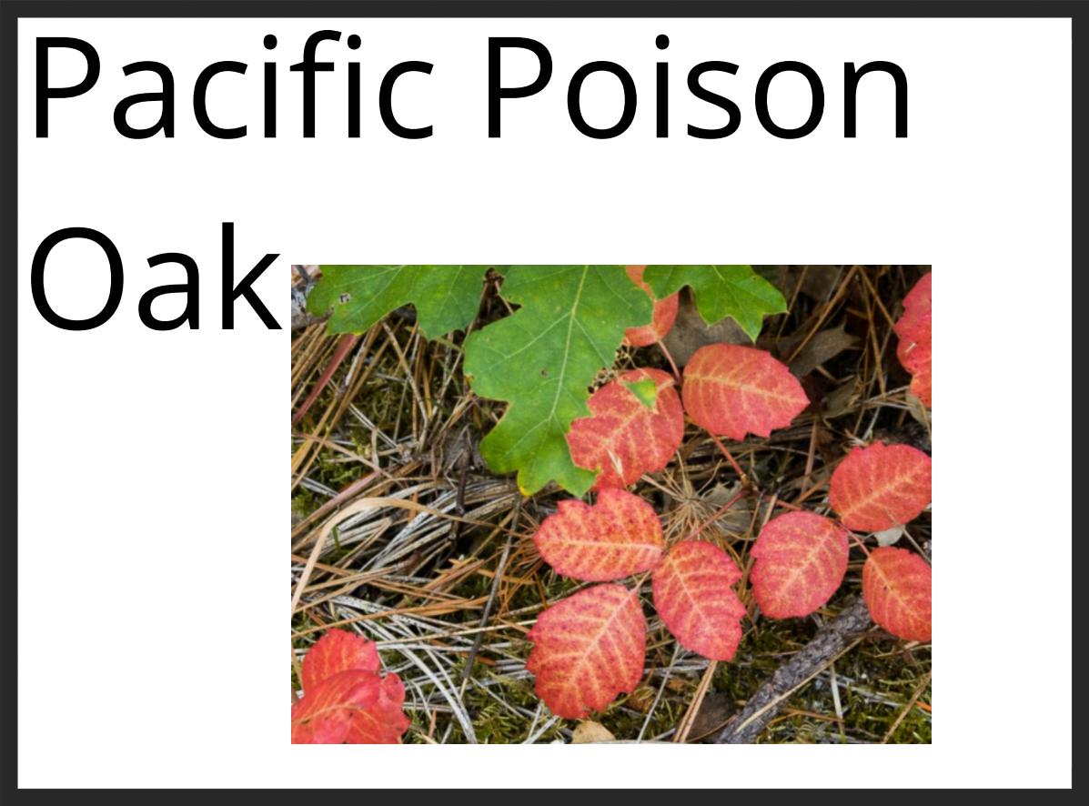 Pacific Poison Oak 1.PNG