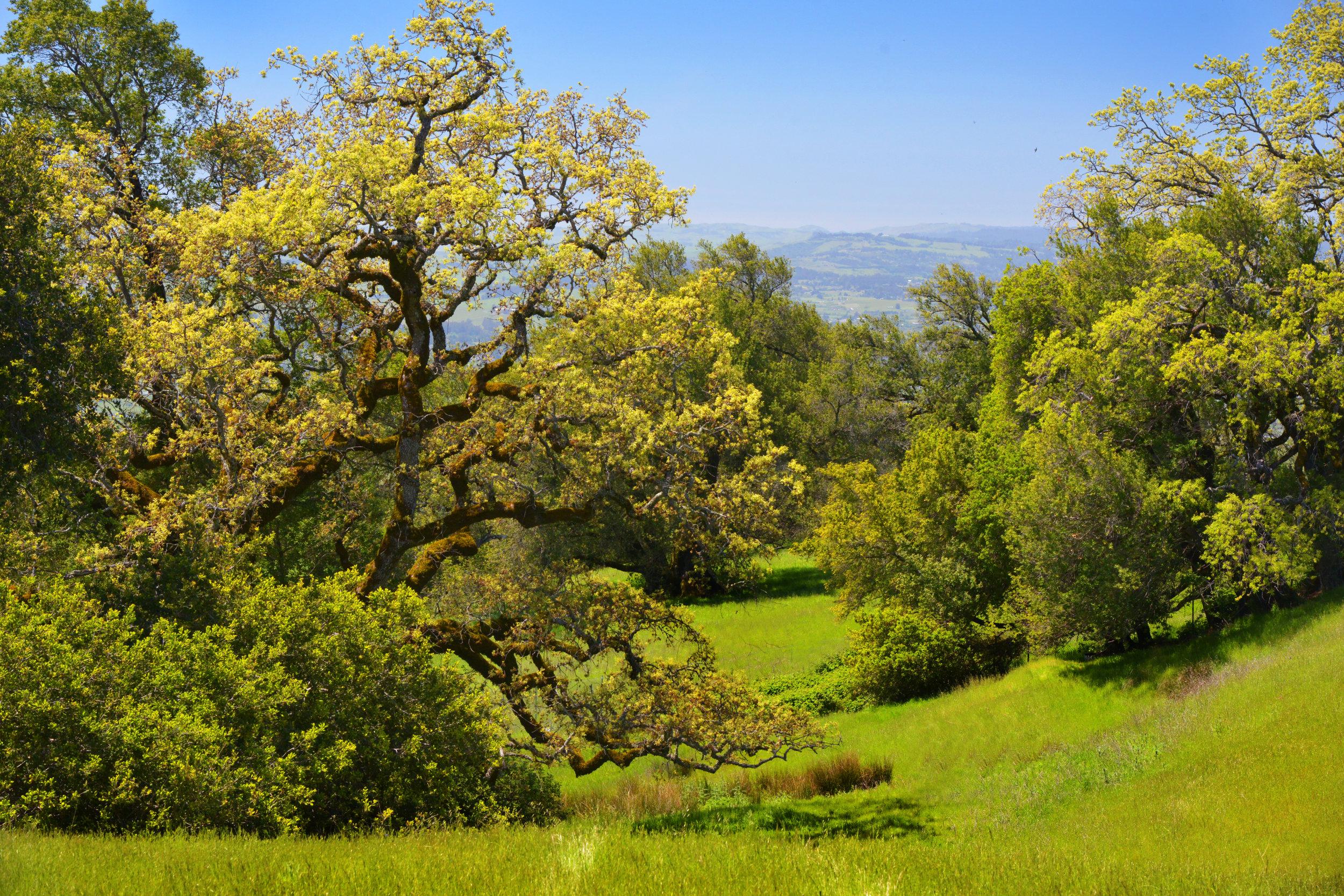 Oak trees, photo by Scott Hess