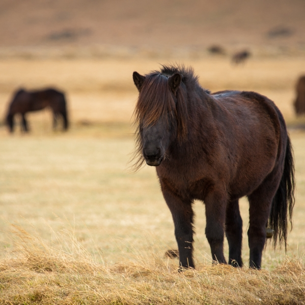 Icelandic Horse Given to Pam for Xmas 2015.jpg