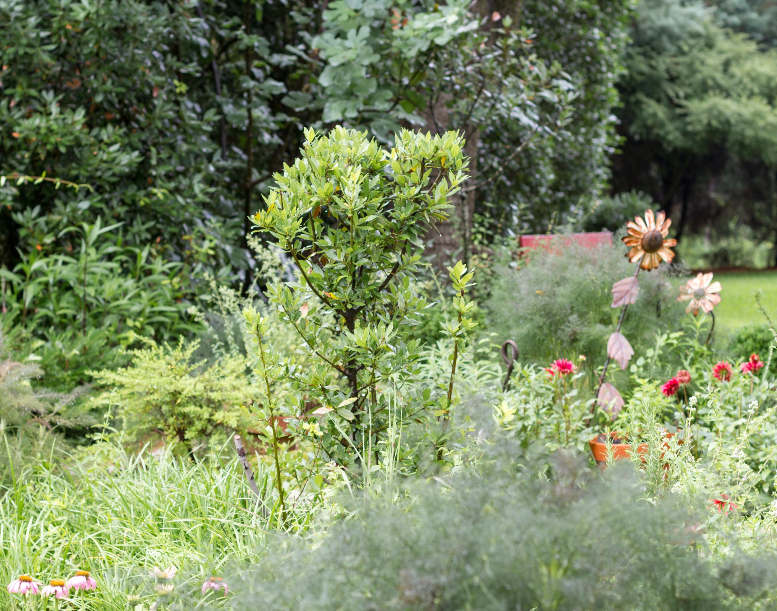 Rustically kept bay tree in the herb garden at Ecco Qua.