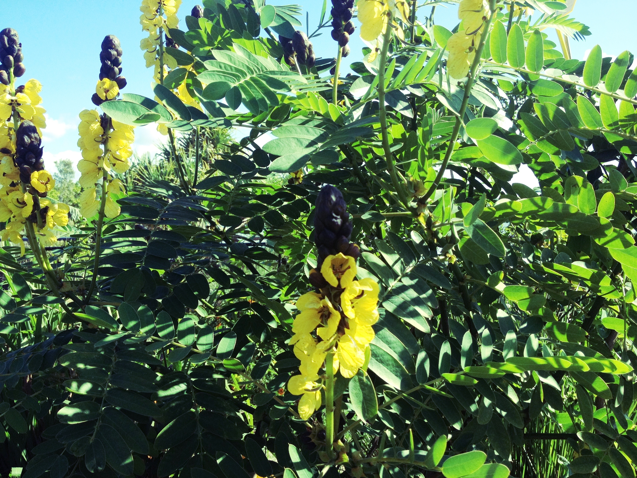 Popcorn cassia.   A nitrogen fixing legume that produces beautiful yellow flowers that smell like freshly popped popcorn. It provides a source of nitrogen rich mulch, useful for establishing a food forest garden.