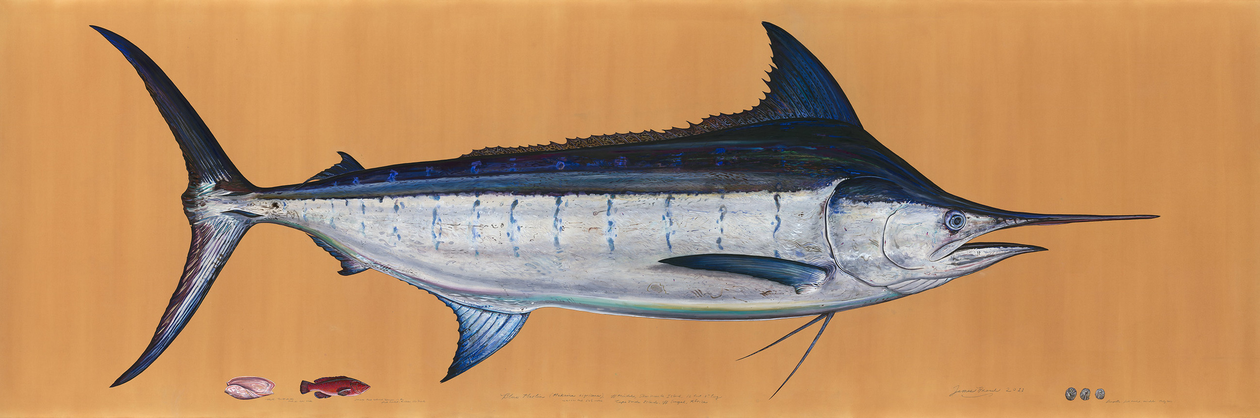 Painting of Blue Marlin by James Prosek - by permission of the Artist