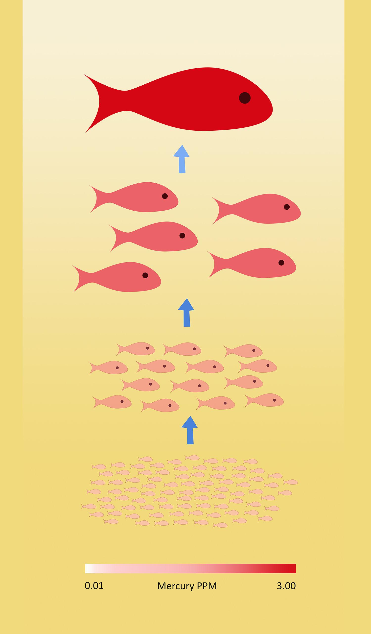 Bioaccumulation of mercury in the marine food chain