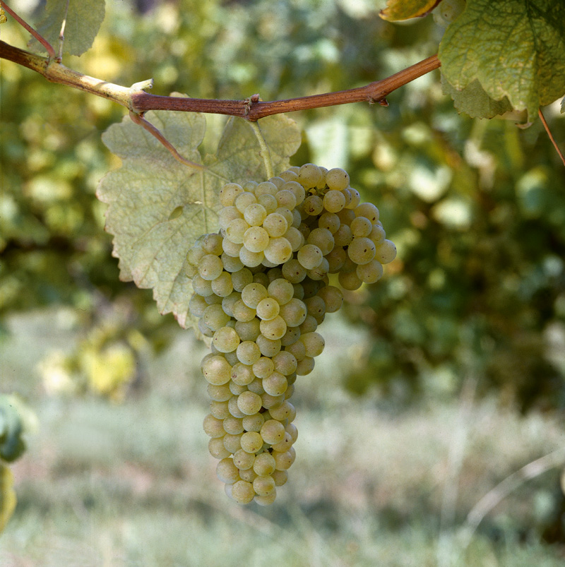 Albariño grapes for Nessa - Copy.jpg