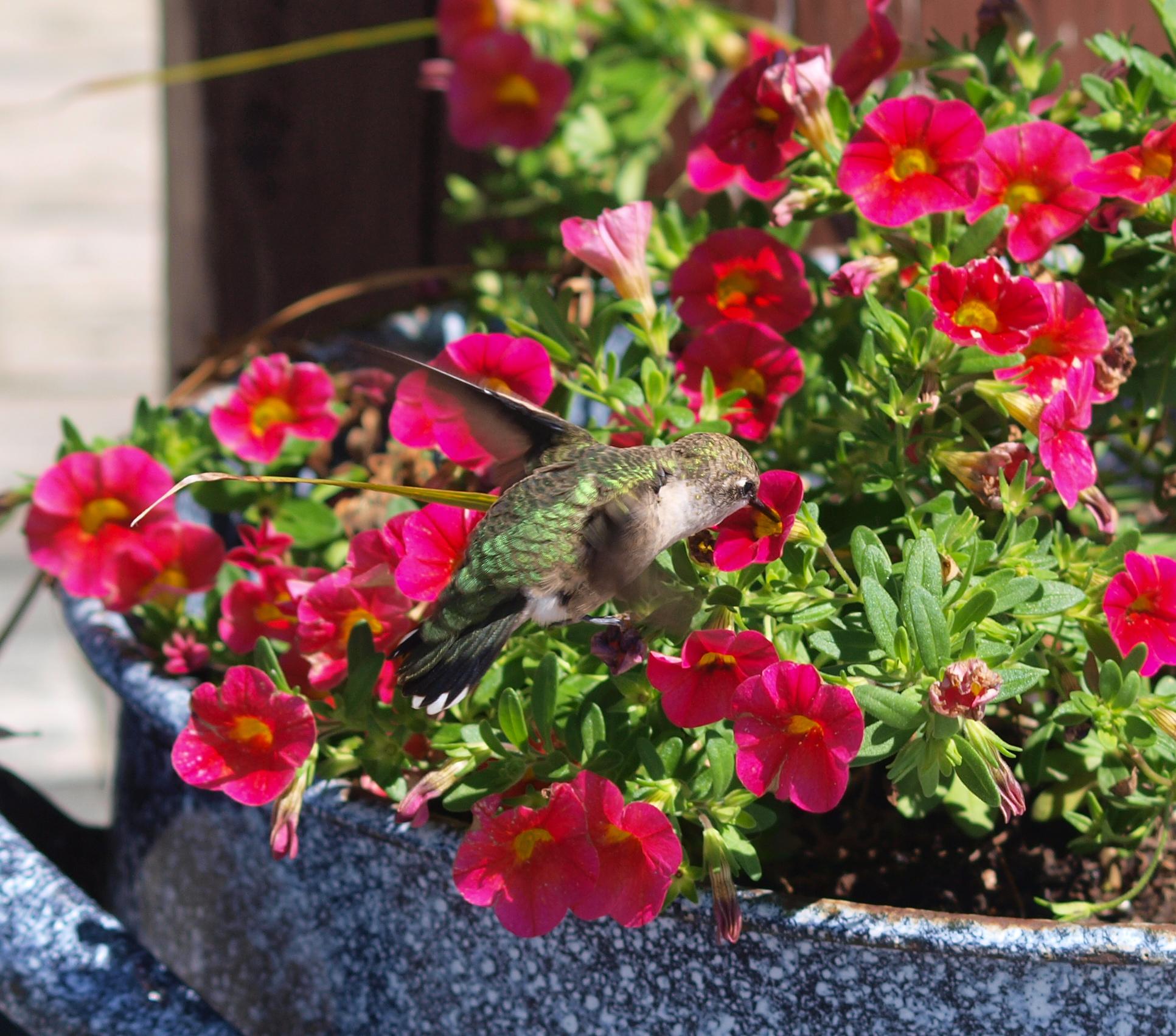 Hummingbird and Blossoms
