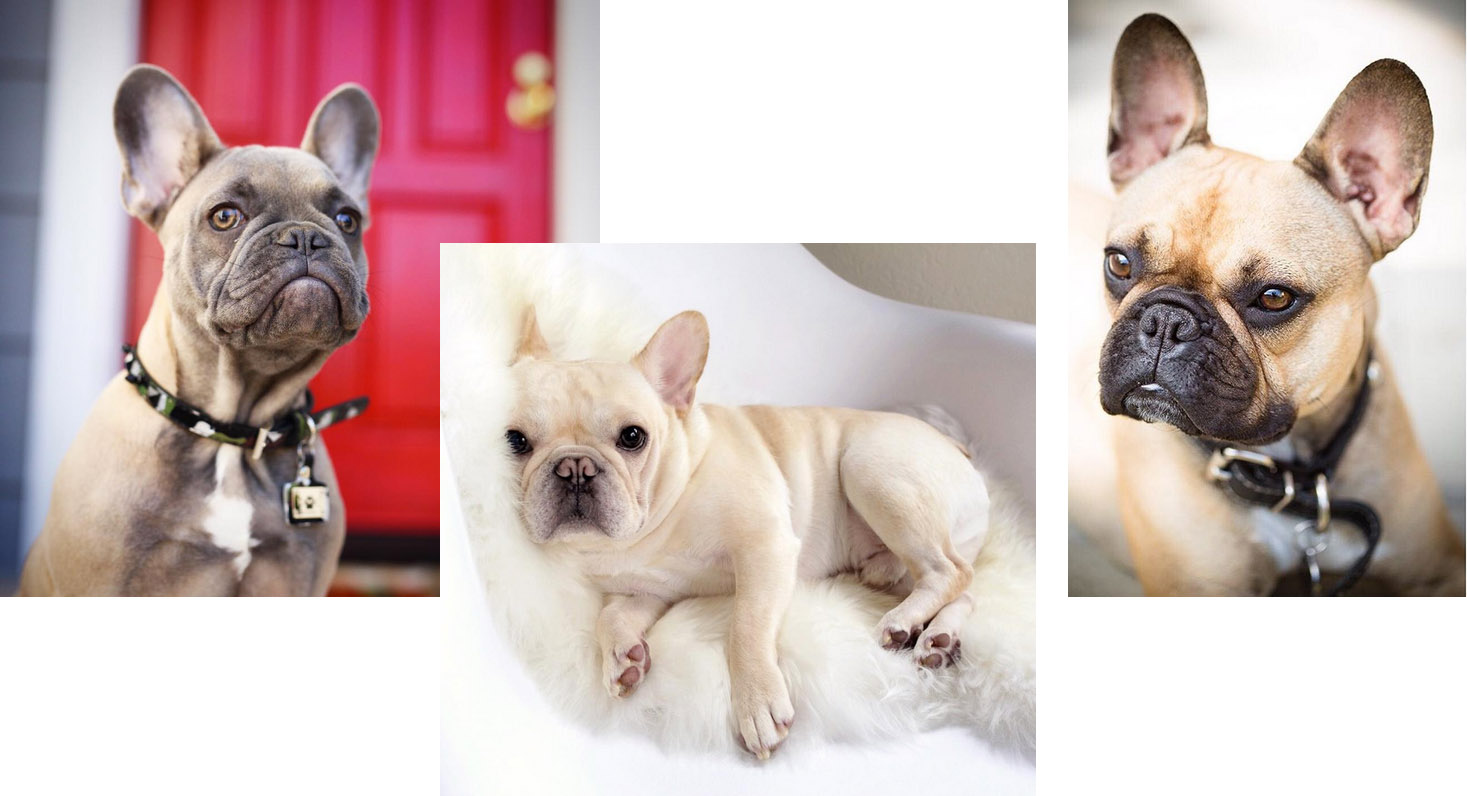 crédits: @greysonthedapperfrenchie  @frenchiebutt  @bruno_the_wonderpup