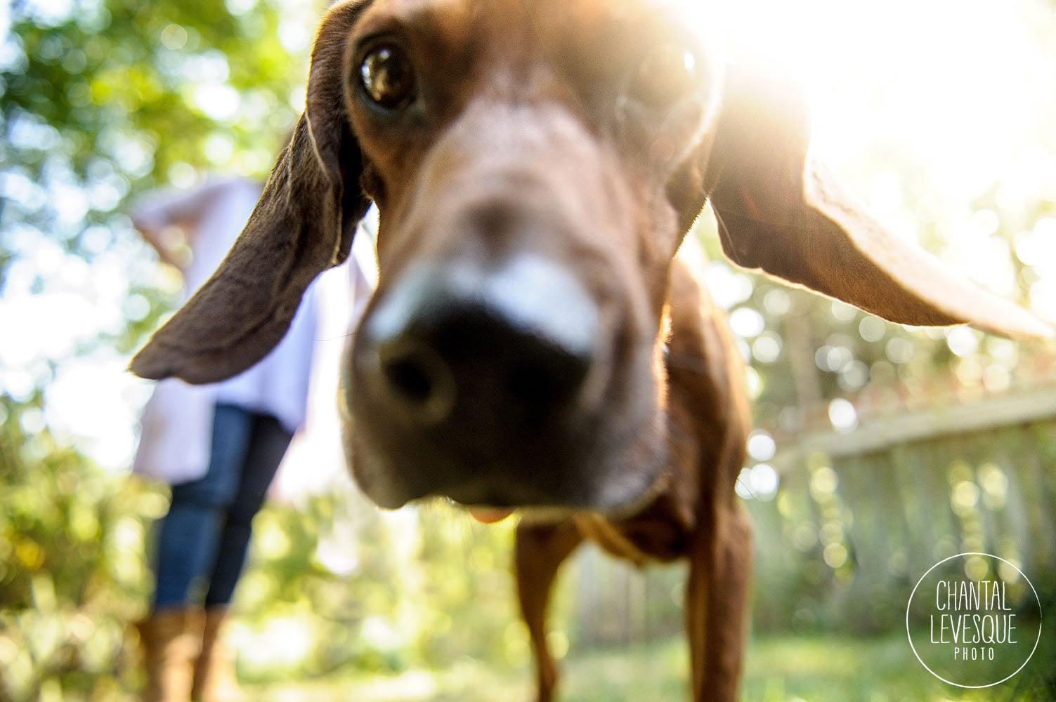 coon-hound-lifestyle-portrait