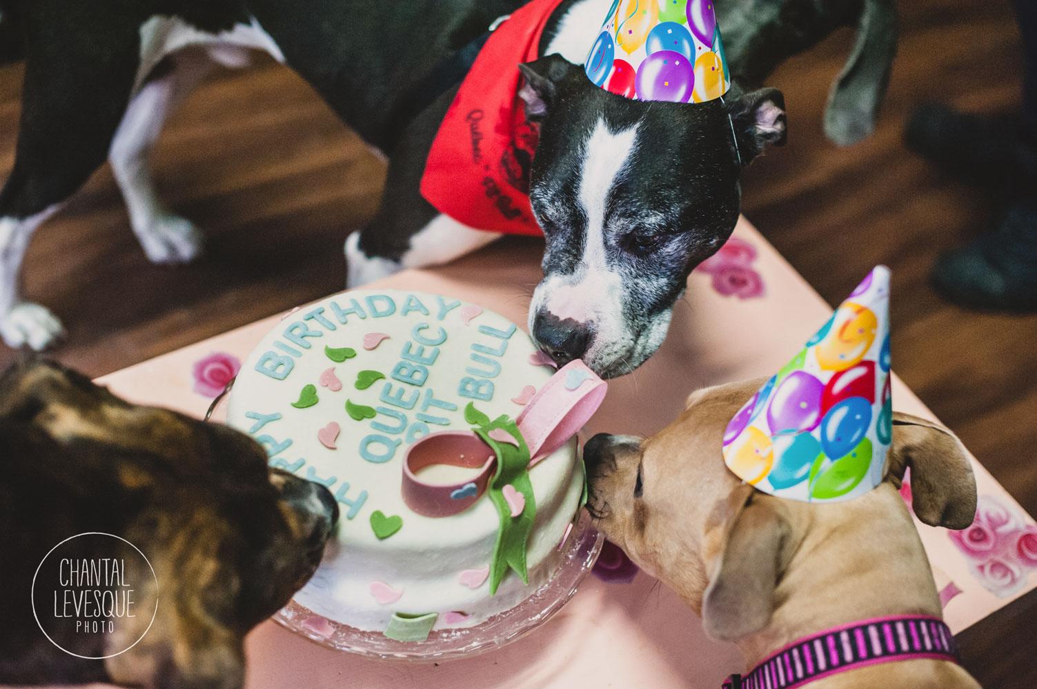 pitbull-anniversary