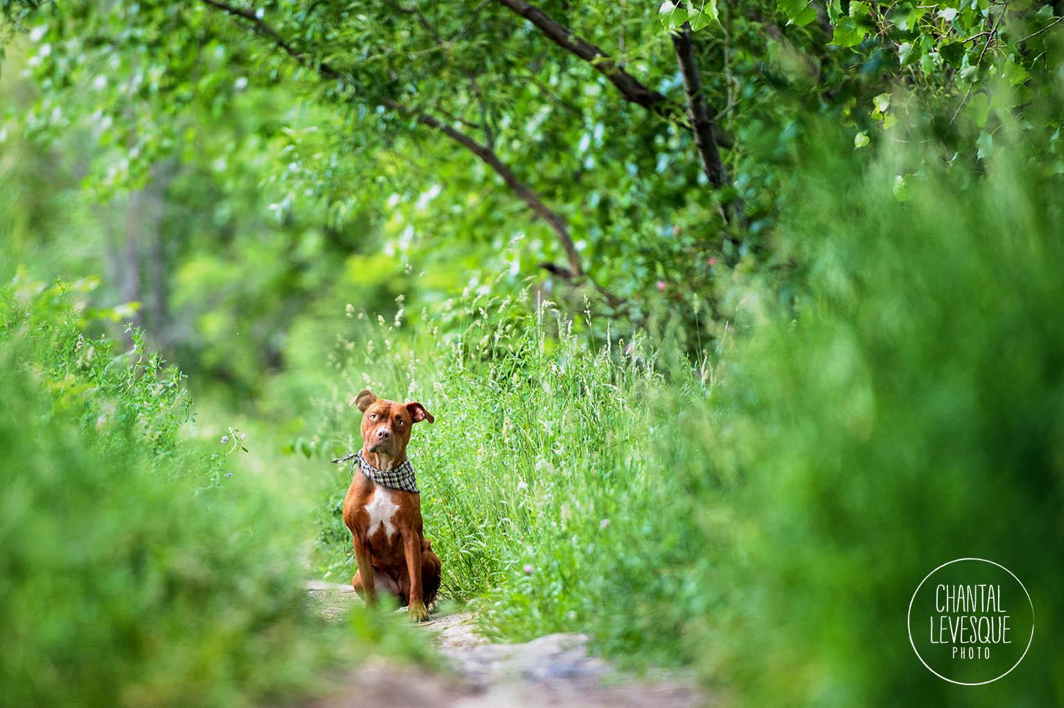 pitbull-nature