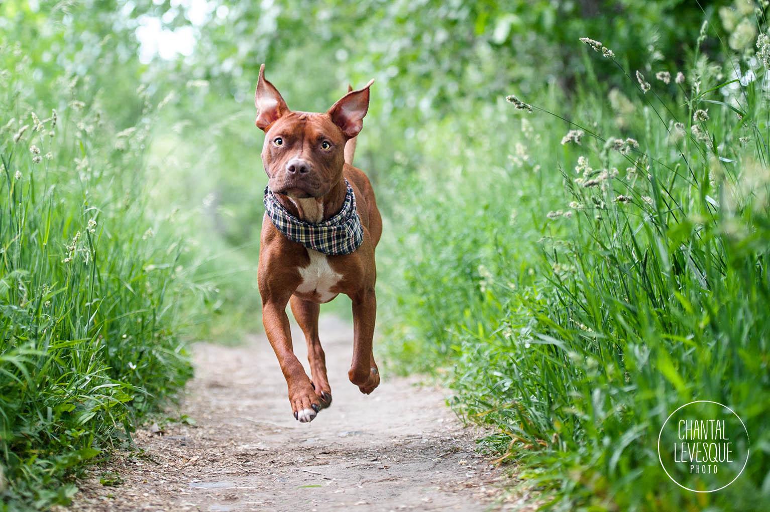 pitbull-running