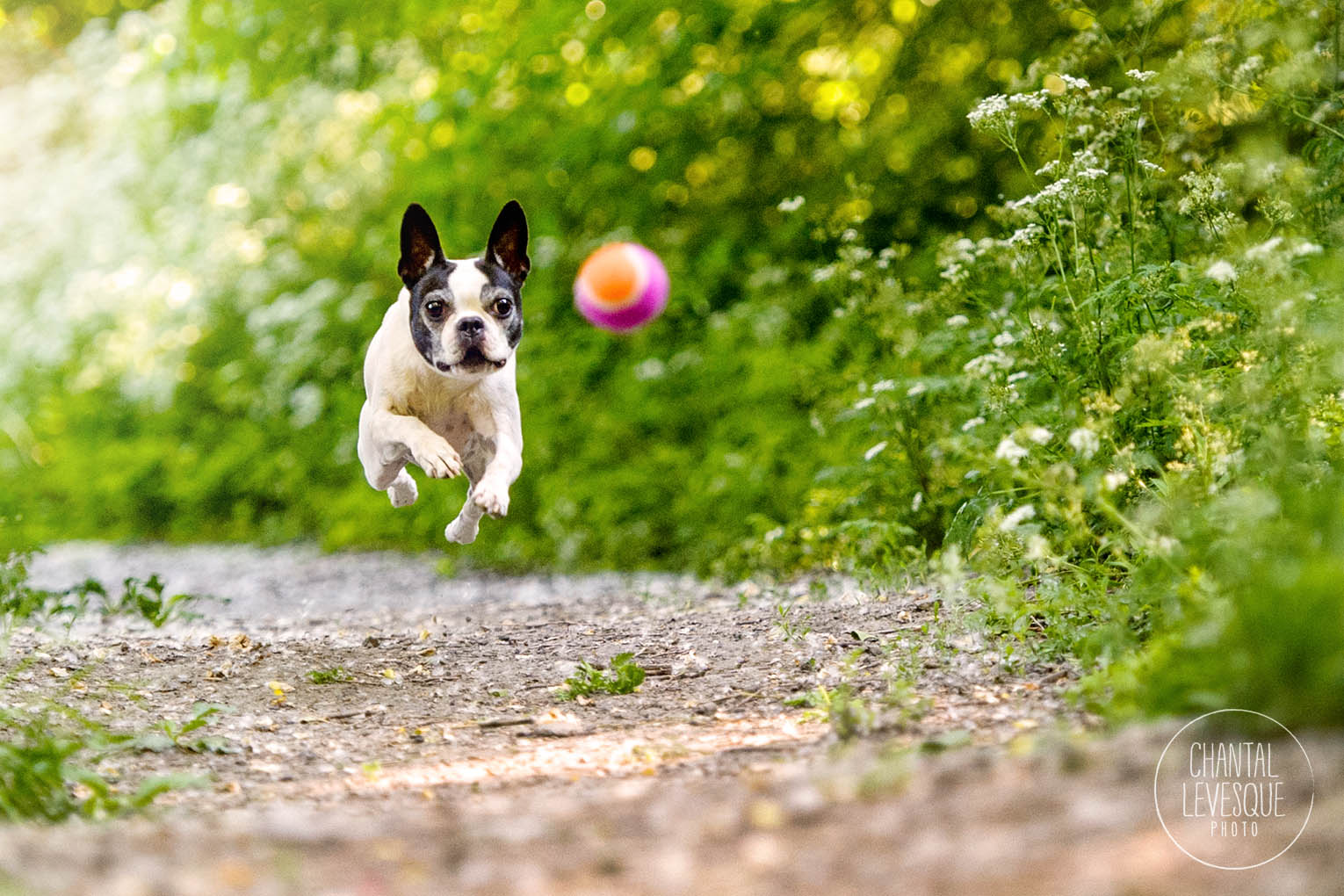 boston-terrier-ball