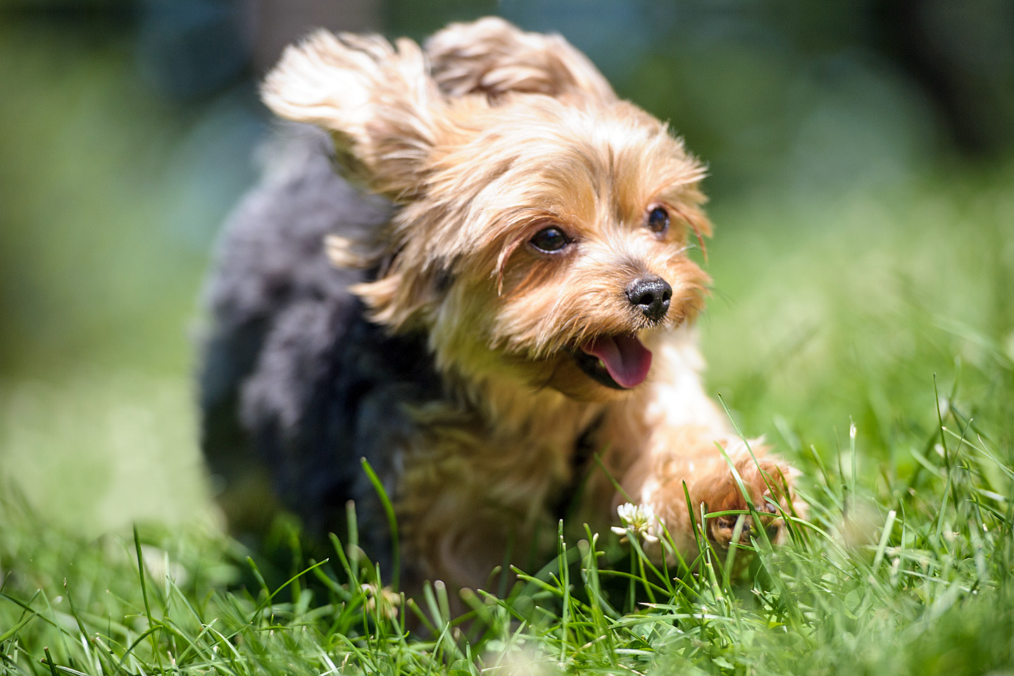 yorkshire-terrier-run